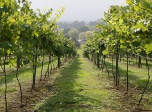 medium_Vineyards